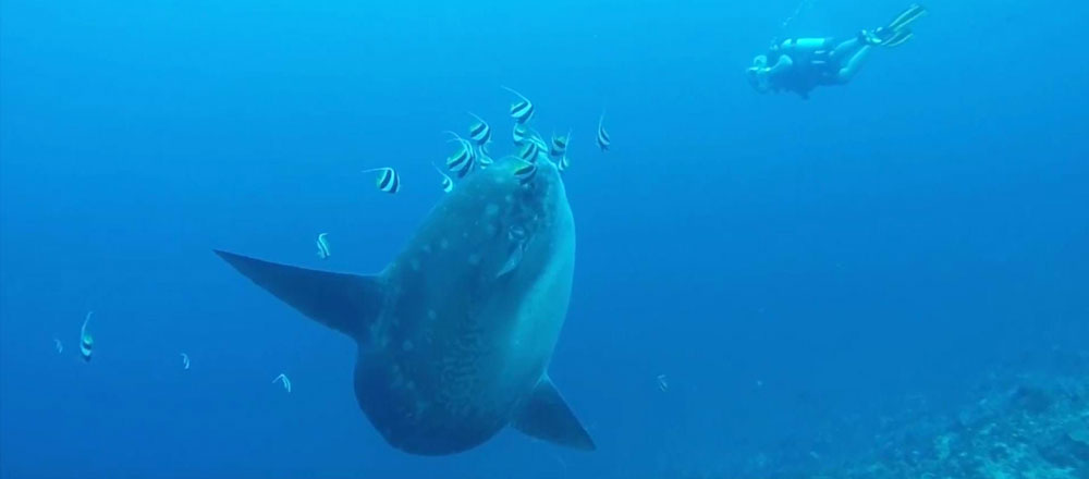 bali sunfish mola-mola diving