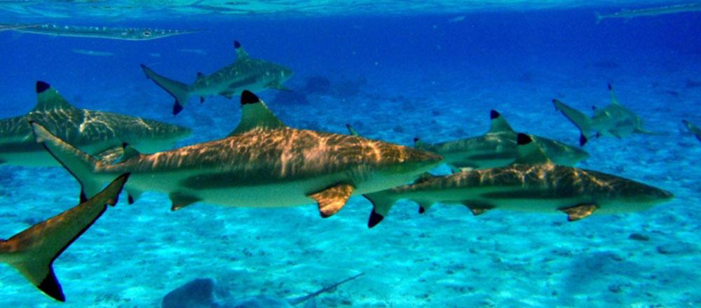 bali shark point diving